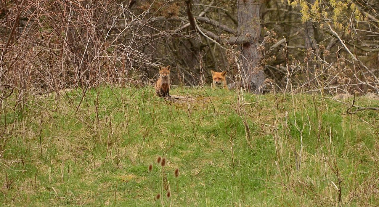 Foxes in Ontario County (photo)